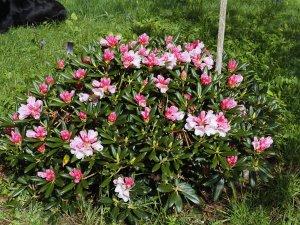 Rhododendron yakusimanum 'Koichiro Wada'