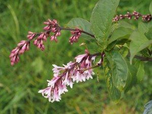 Syringa wilsonii
