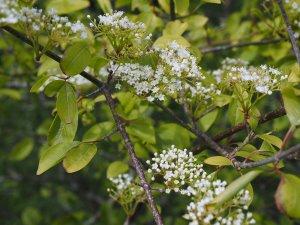 Viburnum prunifolium