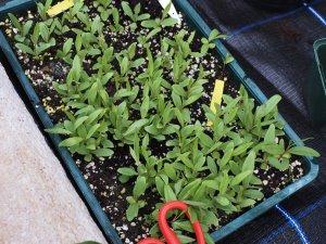 Embothrium lanceolatum seedlings