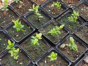Luma apiculata self-sown seedlings