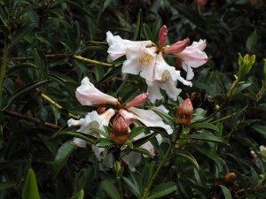 Rhododendron polyandrum