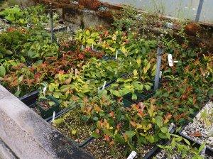 camellia species liners