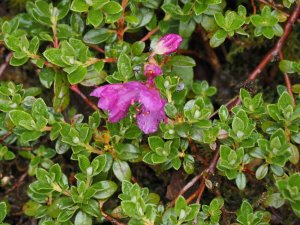 Rhododendron radicans