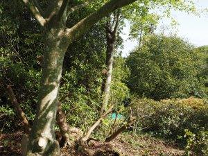 beech tree and a Cornus