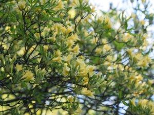 Azalea 'Narcissiflorum'
