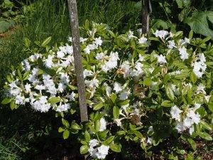 Azalea 'Whitethroat'