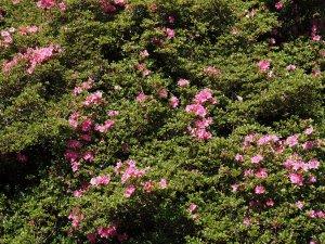 Rhododendron (Azalea) kiusianum