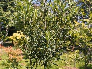 Pittosporum bicolor