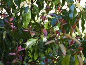 Huodendron biaristratum