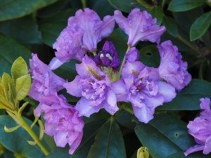 Rhododendron fastuosum 'Flore Pleno'