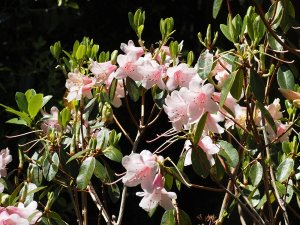 Rhododendron 'Penvose'