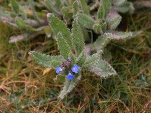 Lycopsis arvensis