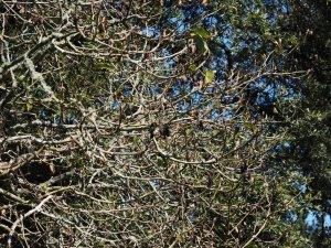 Magnolia dawsoniana