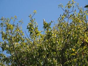 Magnolia (Manglietia) insignis
