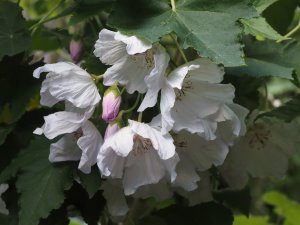 Abutilon vitafolium var. album 'Veronica Tennant'