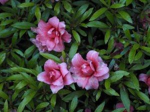Azalea indicum 'Balsaminaeflorum'