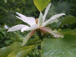 Magnolia 'Silk Road'