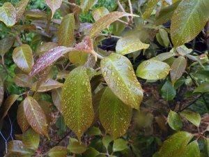not be Quercus acuta