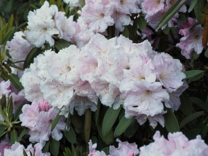 Rhododendron decorum seedlings