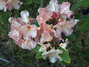 Rhododendron 'Olga'