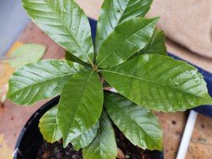 Lithocarpus quercifoleia