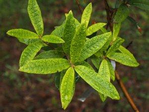 Quercus hyplencoides