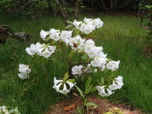 Rhododendron excellens