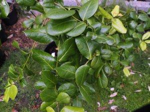 Ilex perado subsp. azorica