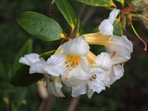 Rhododendron royalei hybrid
