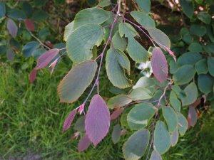 Corylopsis 'Spring Purple'