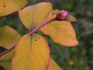 Hydrangea sargentiana 'Goldrush'