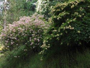 'American' (deciduous) azaleas