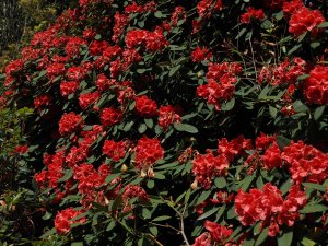 Rhododendron 'Tally Hoo Group'