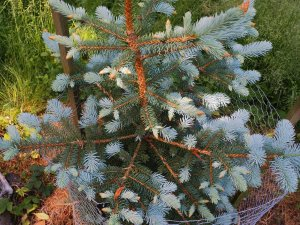 Picea pungens 'Spek'