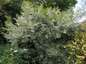 Styrax formosanus var. formosanus