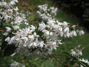 Deutzia paniculata