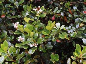 Raphiolepsis umbellata