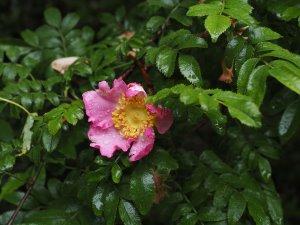 Rosa roxburgii