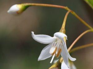 Styrax hookeri yunnanensis