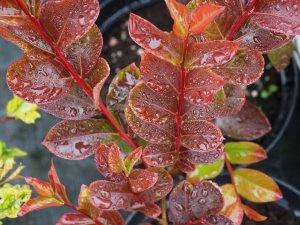 Lagerstroemia indica 'Fuchsia d'Ete'