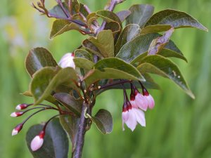 Styrax japonicus 'Pink Snowbell'