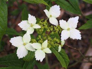 Hydrangea angustipetala f. macrosepala