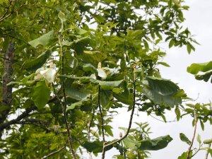 Magnolia dealbatas