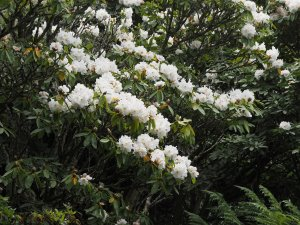 Rhododendron fortunei subsp. discolor