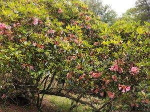 Rhododendron 'Royal Flush'