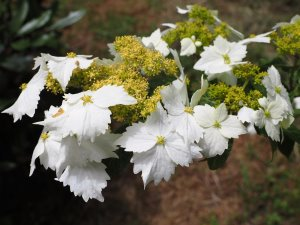 Hydrangea chinesis 'Golden Crane'