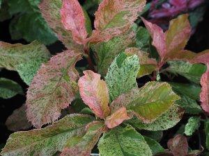 Photinia serratifolia 'Crispy Pink'