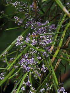 Chordospartium stevensonii
