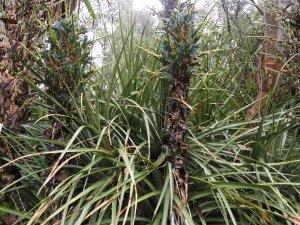 Puya chilensis and Puya berteroniana